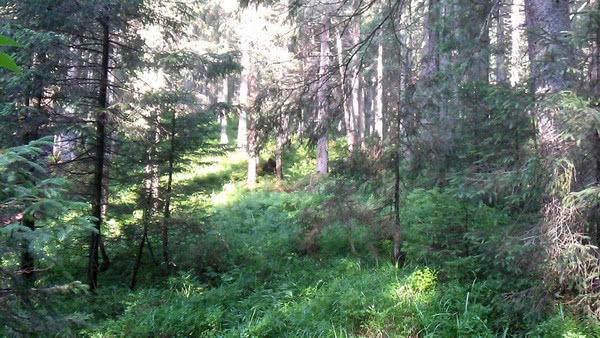 40% лесов в Украине сертифицировано по схеме FSC